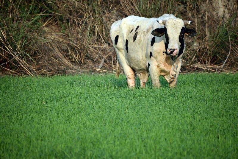 Oreo-Kuh im Weizenbauernhof stockfotografie