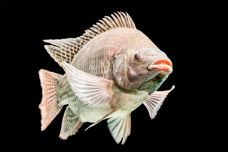 Oreochromis Mossambicus Tilapia Fish. Mozambique Tilapia Oreochromis Mossambicus Isolated On Black Studio Aquarium Shot stock photo