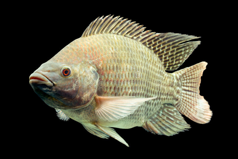Oreochromis Mossambicus Tilapia Fish. Mozambique Tilapia Oreochromis Mossambicus Isolated On Black Studio Aquarium Shot stock photography
