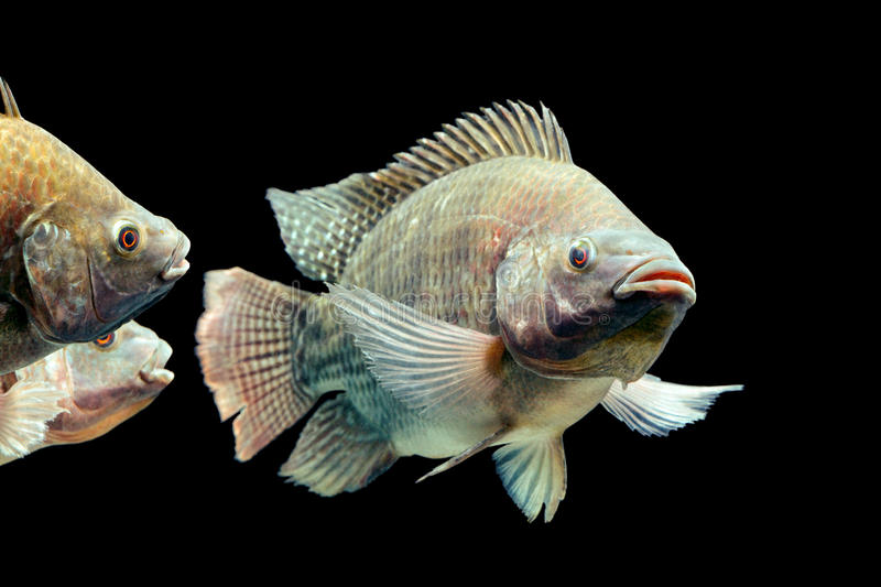 Oreochromis Mossambicus Tilapia Fish. Mozambique Tilapia Oreochromis Mossambicus Isolated On Black Studio Aquarium Shot stock images