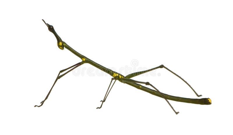 oreophoetes phasmatodea owadów peruana patyk zdjęcie royalty free