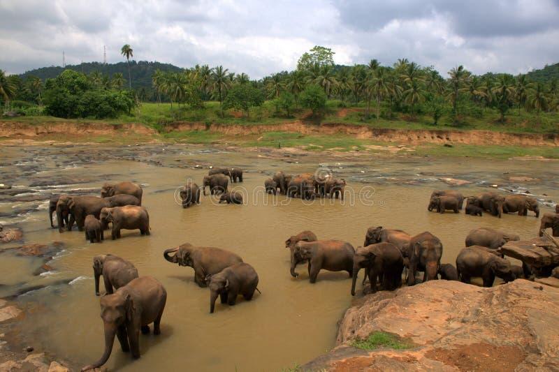Orfanato do elefante de Pinnawela em Sri Lanka fotos de stock royalty free