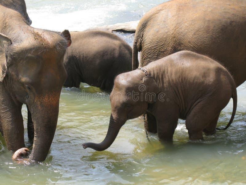 Orfelinato del elefante de Pinnawala en Sri Lanka fotografía de archivo