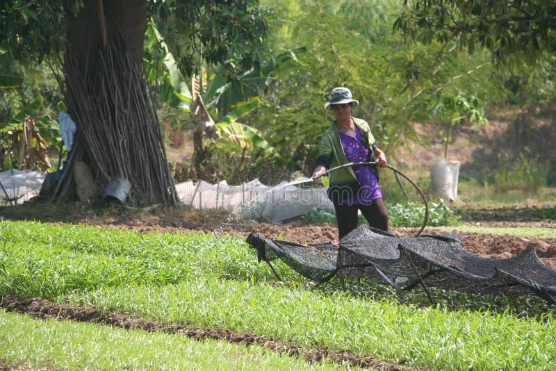 Orgânico, agricultura, exploração agrícola, arroz, fazendeiros tailandeses, alatus de Dipterocarpus foto de stock