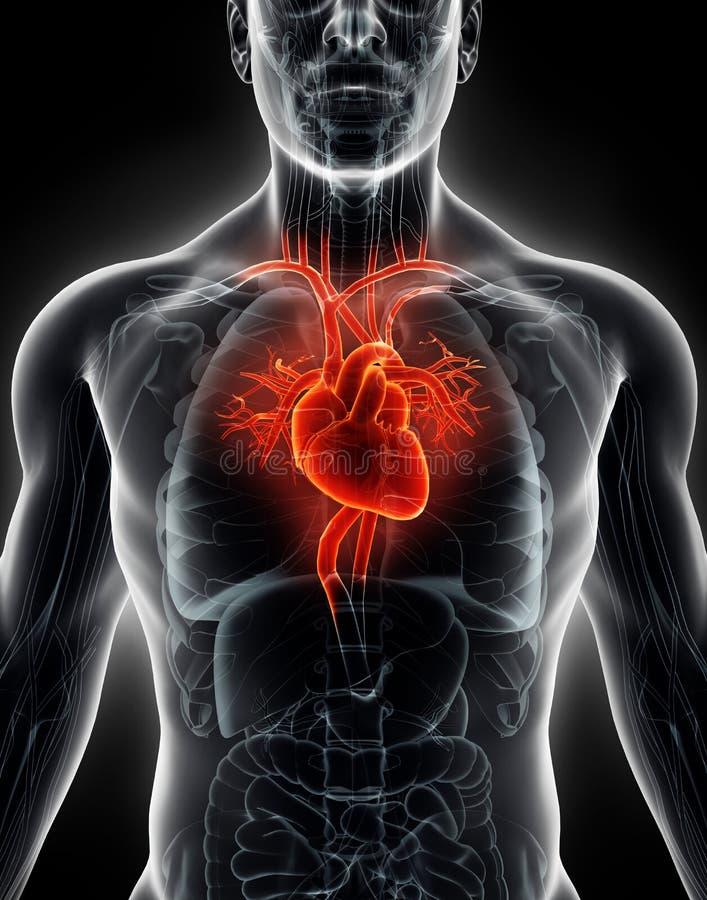 orgânico interno humano da ilustração 3D - coração humano ilustração do vetor