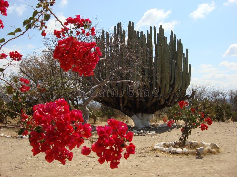 Organ Cactus. A very large organ cactus located in Tehuacan Puebla, on the way to Oaxaca stock image