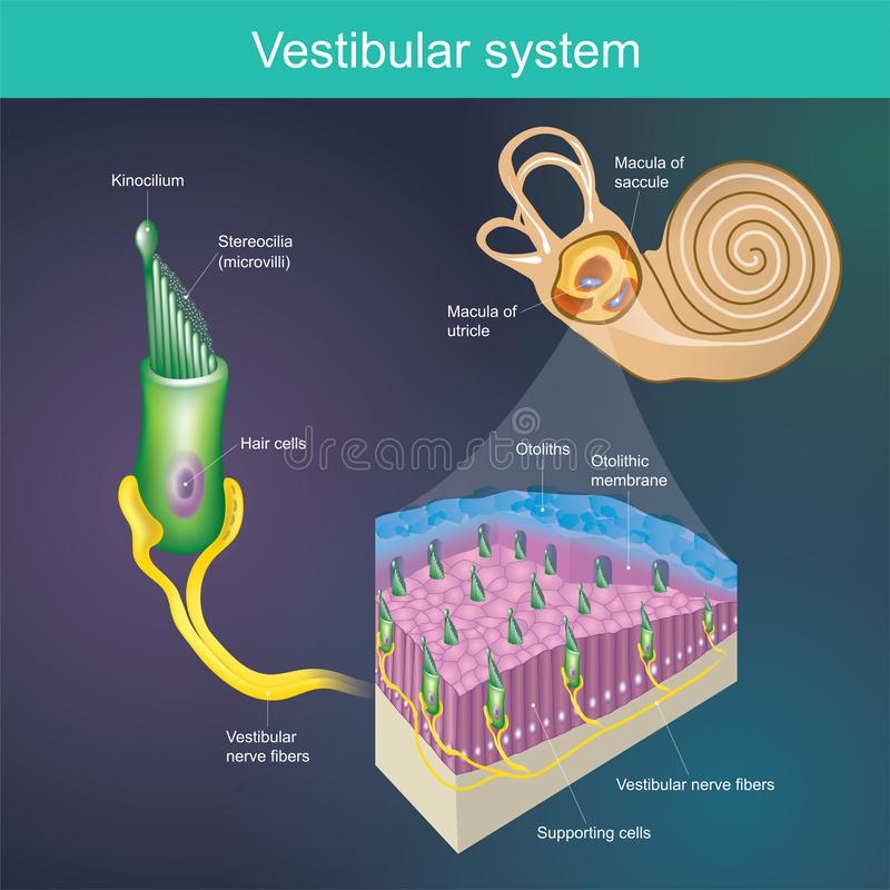 An organ that determines the body`s balance. And the direction of the body. .Vestibular system It is part of the mammal`s hearin royalty free illustration