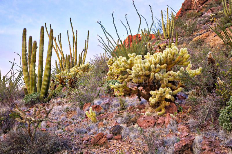 Organ Pipe Cactus. National Monument at sunrise royalty free stock photo
