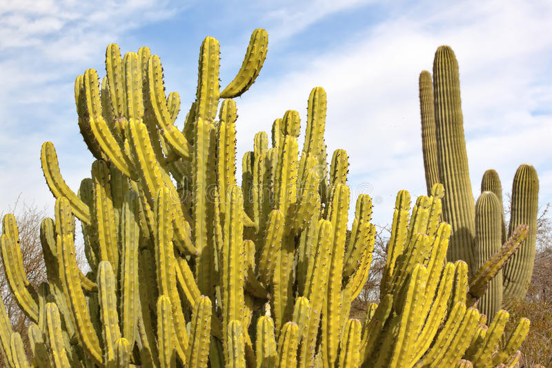 Organ Pipe Cactus Saguaro Desert Arizona stock photo