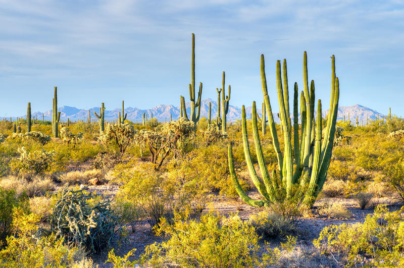 Organ Pipe. Cactus and Saguaros in  Cactus National Park stock images