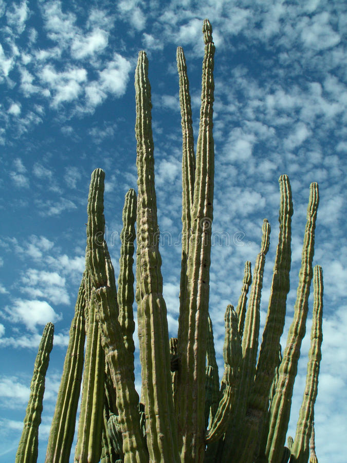 Free Organ Pipe Cactus, State Of Baja California Sur, Mexico Royalty Free Stock Photo - 54996855