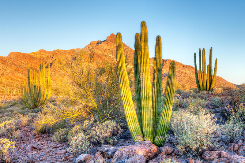 Organ Pipe Cactus. Young Organ Pipe Cactus basking in day's first rays royalty free stock image