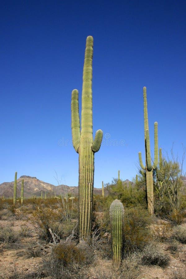 Organ pipe national park, Arizona - group of large cacti against a blue sky. Stenocereus thurberi, Carnegiea gigantea stock photo
