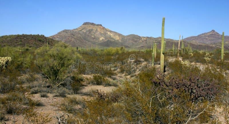Organ pipe national park, Arizona - group of large cacti against a blue sky. Stenocereus thurberi, Carnegiea gigantea stock photography