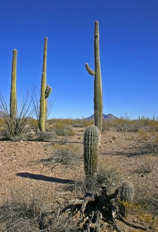 Organ pipe national park, Arizona - group of large cacti against a blue sky Stenocereus thurberi, Carnegiea gigantea. Group of large cacti against a blue sky royalty free stock photography
