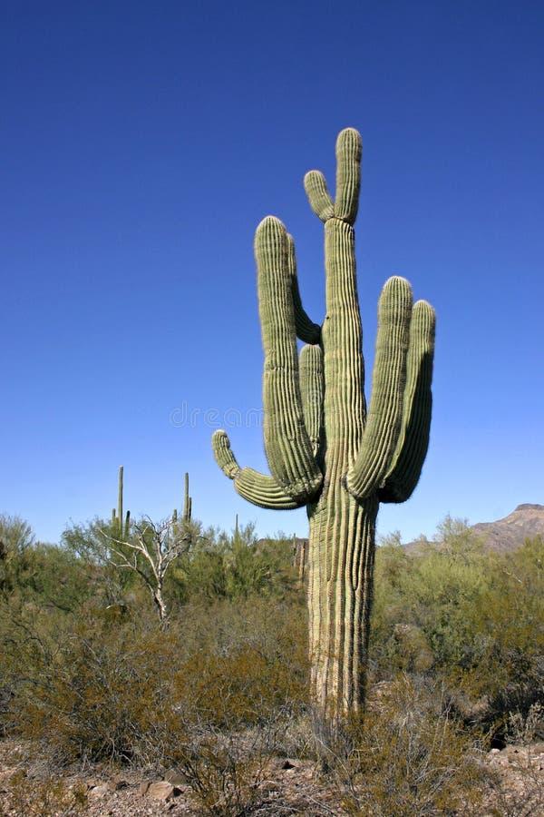 Organ pipe national park, Arizona - group of large cacti against a blue sky. Stenocereus thurberi, Carnegiea gigantea royalty free stock photos