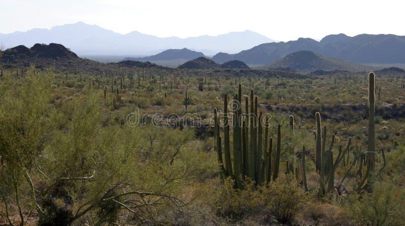 Organ pipe national park, Arizona - group of large cacti against a blue sky. Stenocereus thurberi, Carnegiea gigantea royalty free stock photography