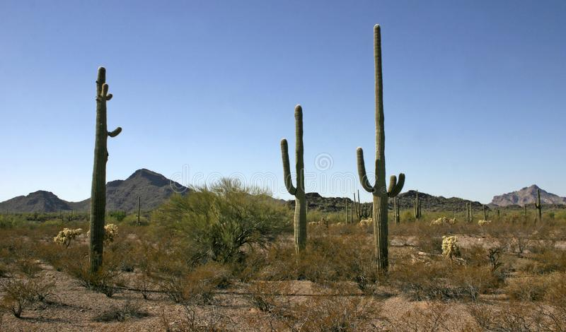Organ pipe national park, Arizona - group of large cacti against a blue sky. Stenocereus thurberi, Carnegiea gigantea royalty free stock photo