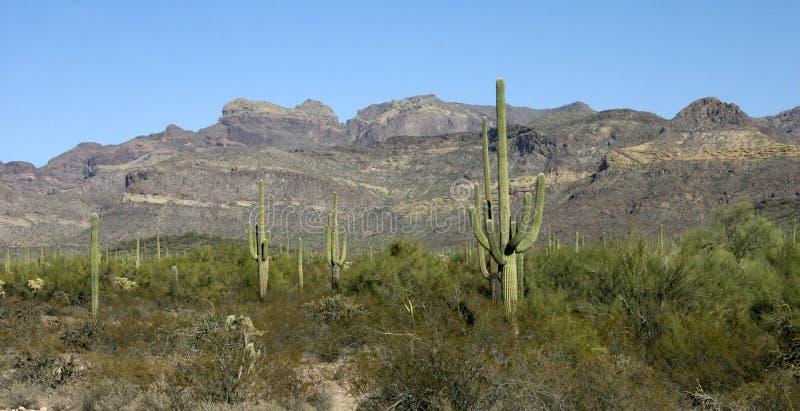 Organ pipe national park, Arizona - group of large cacti against a blue sky Stenocereus thurberi. Carnegiea gigantea royalty free stock images