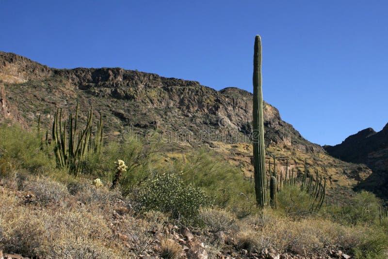 Organ pipe national park, Arizona - group of large cacti against a blue sky. Stenocereus thurberi, Carnegiea gigantea stock photos