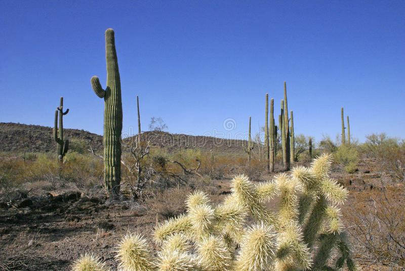 Organ pipe national park, Arizona - group of large cacti against a blue sky. Stenocereus thurberi, Opuntia stock images