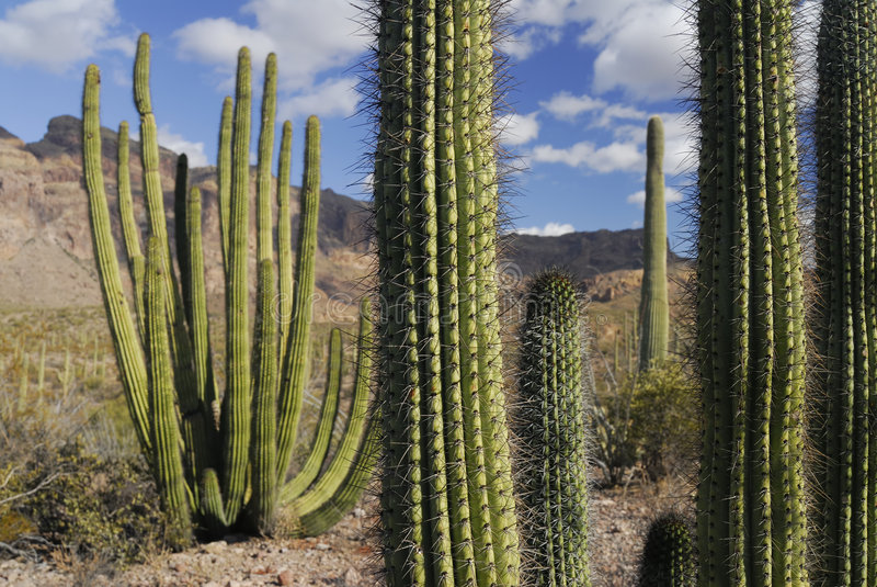 Organ-Rohr-Kaktus lizenzfreie stockbilder