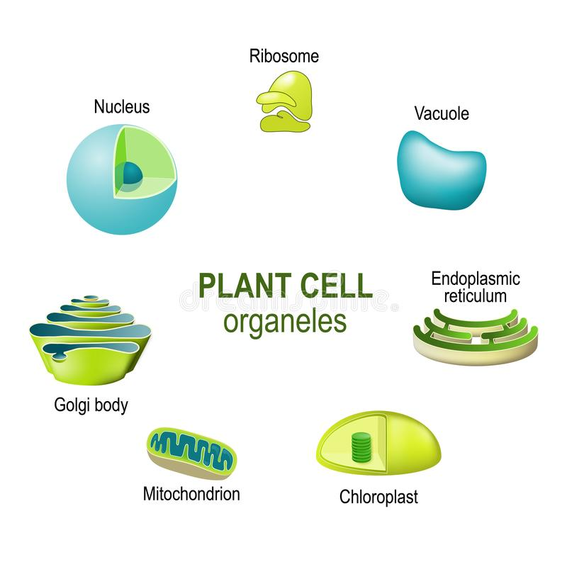 Organelli delle cellule vegetali royalty illustrazione gratis