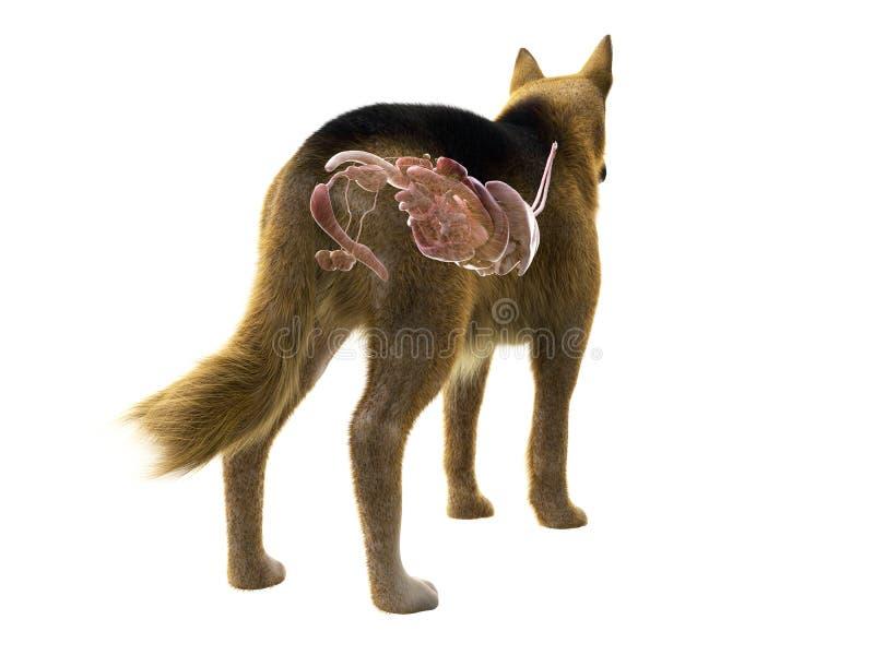 organen av hunden stock illustrationer