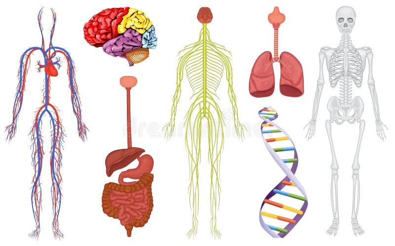 Organes de corps illustration libre de droits