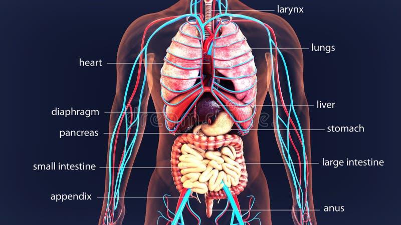 organes de corps humain de l'illustration 3d Système de corps humain illustration libre de droits