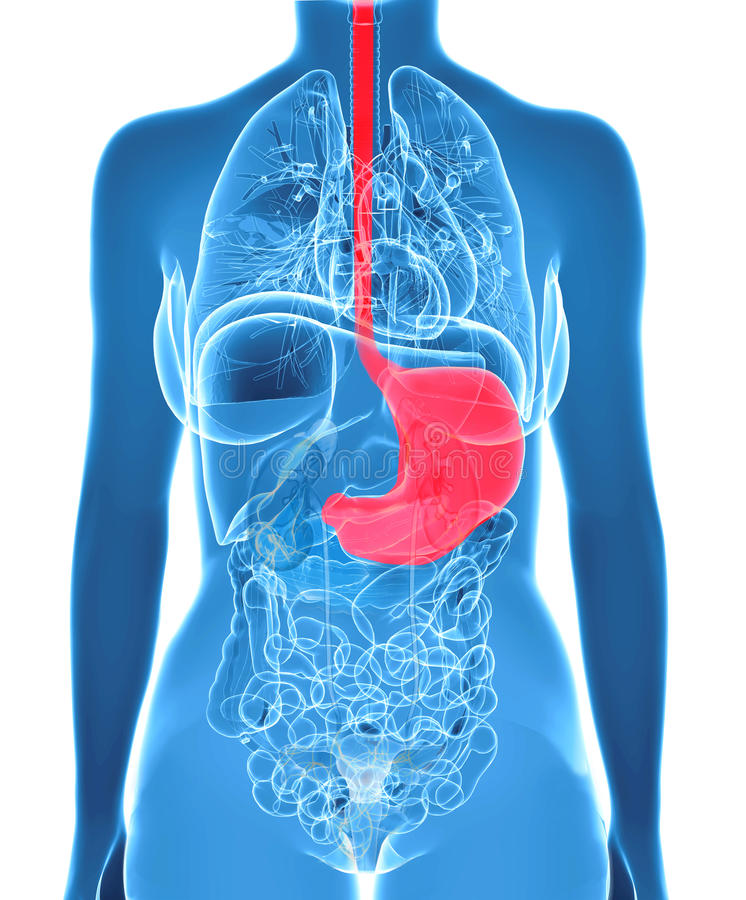 Organes femelles d'abdomen avec l'estomac accentué illustration libre de droits