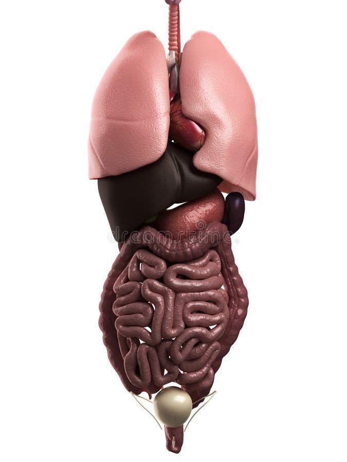 Organes humains illustration de vecteur