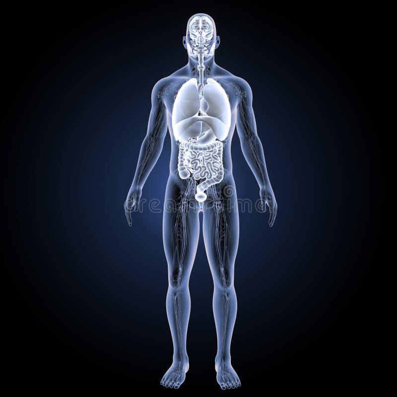 Organes humains avec la vue antérieure d'appareil circulatoire illustration de vecteur