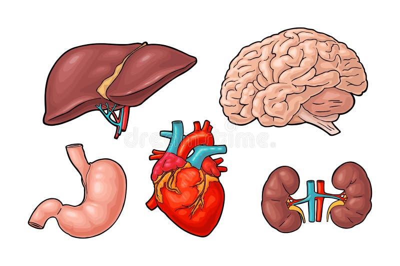 Organes humains d'anatomie Cerveau, rein, coeur, foie, estomac Gravure de vecteur illustration stock