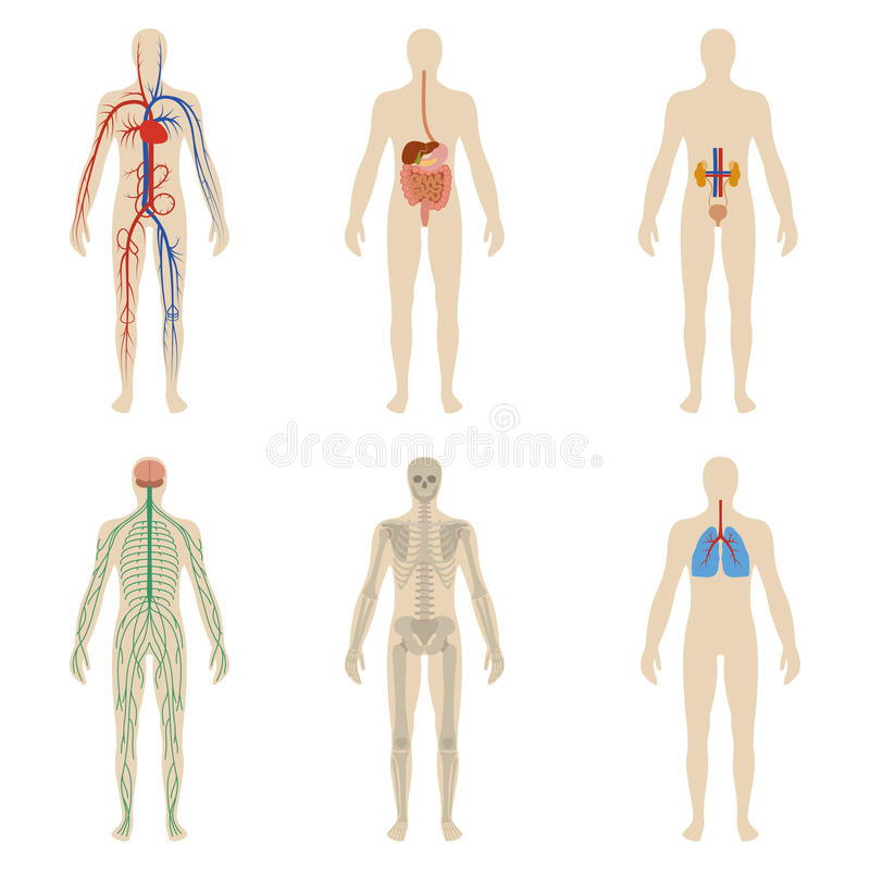 Organes humains et systèmes réglés de la vitalité de corps photo libre de droits