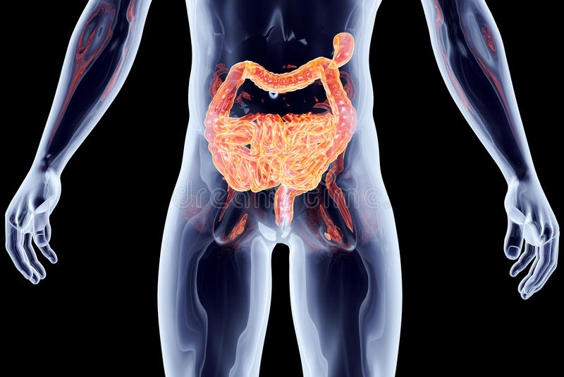 Organes internes - intestins illustration stock