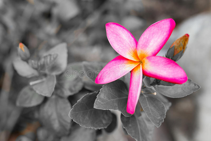 Organge Champaka& x27; Blume lizenzfreies stockfoto