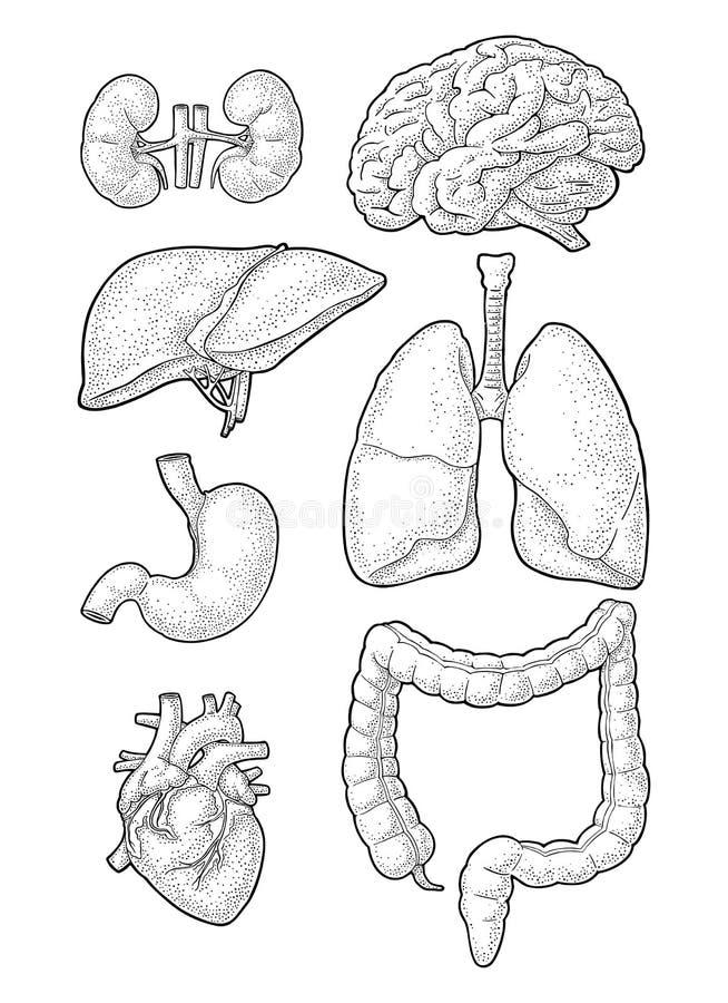 Organi umani di anatomia Cervello, rene, cuore, fegato, stomaco Incisione di vettore royalty illustrazione gratis