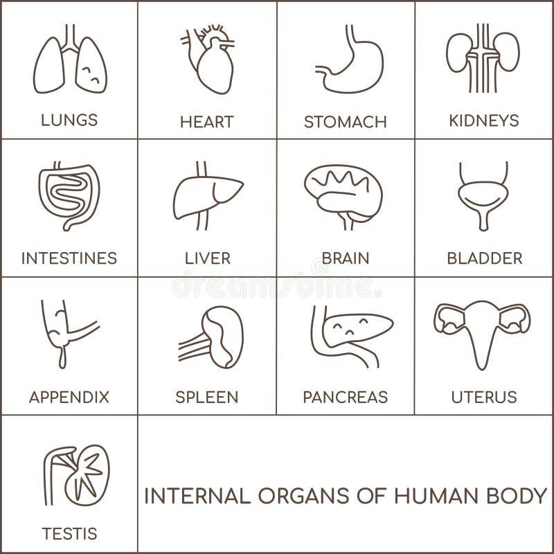 Organi umani maschii e femminili illustrazione vettoriale