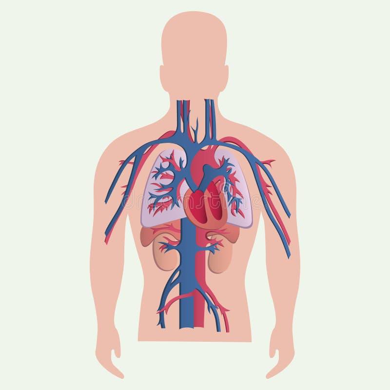 Organi umani medici illustrazione vettoriale