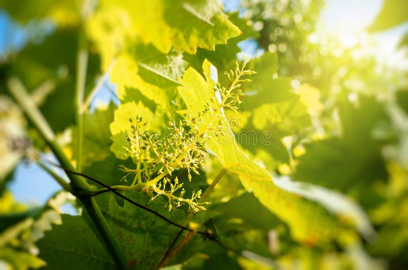 Organic agriculture - grape buds in spring stock photography