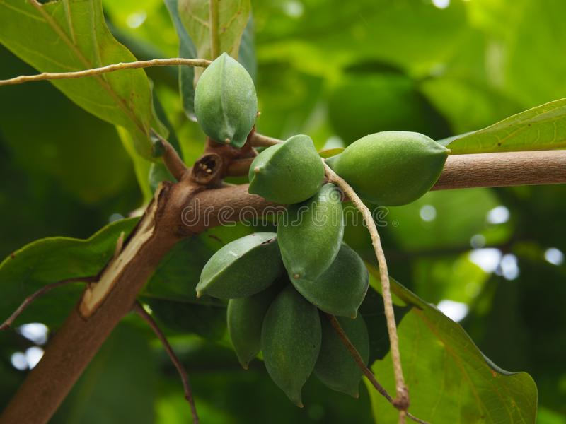 Organic Almondtree with green almond fruits in tropical Suriname South-America. Closeup of an organic Almond-tree with green almond fruits in tropical Suriname stock photography