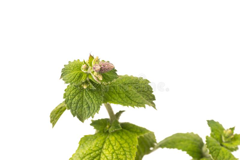 Organic Apple Mint Leaves isoalted and with copy space stock photos