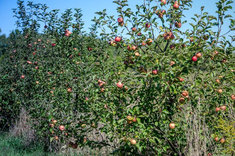 Organic apple orchard with bad apples. Organic apple orchard in Michigan is filled with bad apples due to scabies, a virus that invaded the entire orchard royalty free stock photography