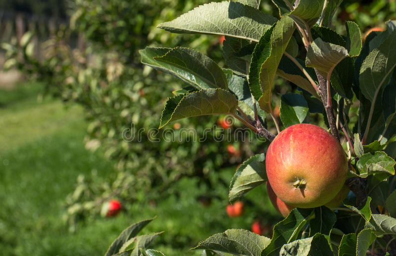 Organic apple stock photo
