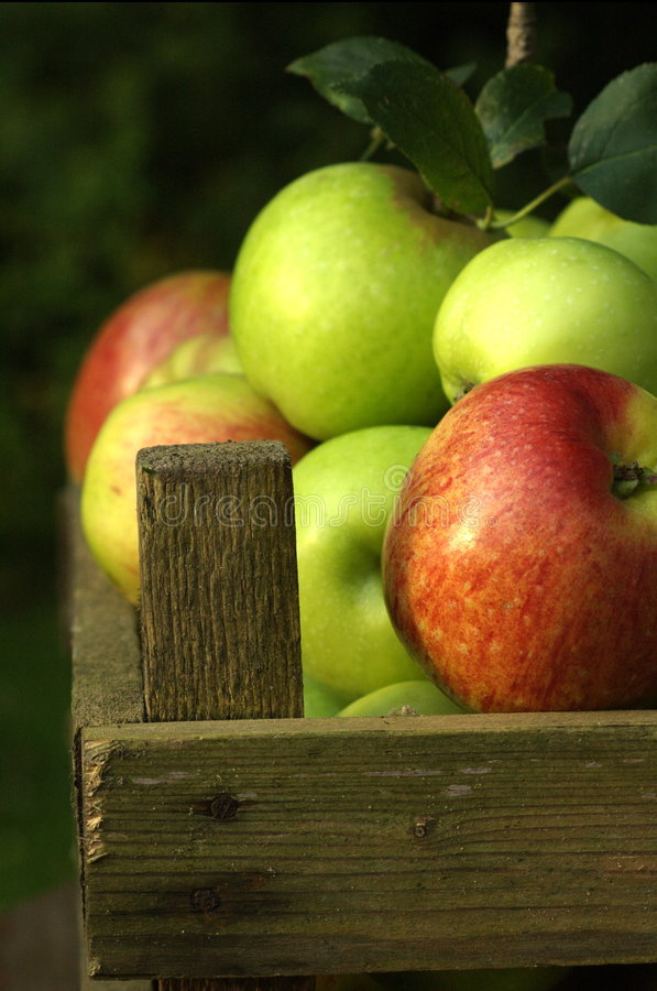 Organic apples. Freshly picked organic apples in traditional wooden crate royalty free stock images