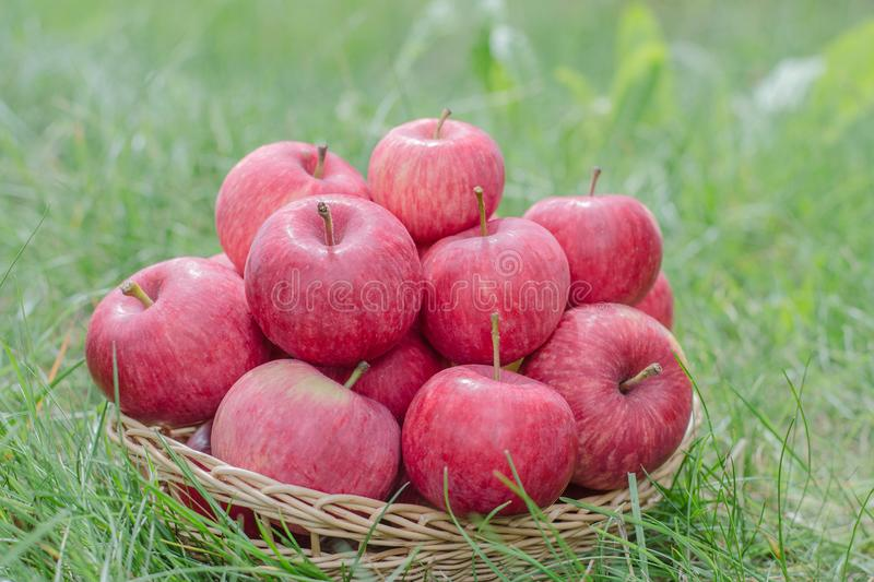 Organic apples in a basket on green grass. Harvest time, autumn, many red apples royalty free stock photography