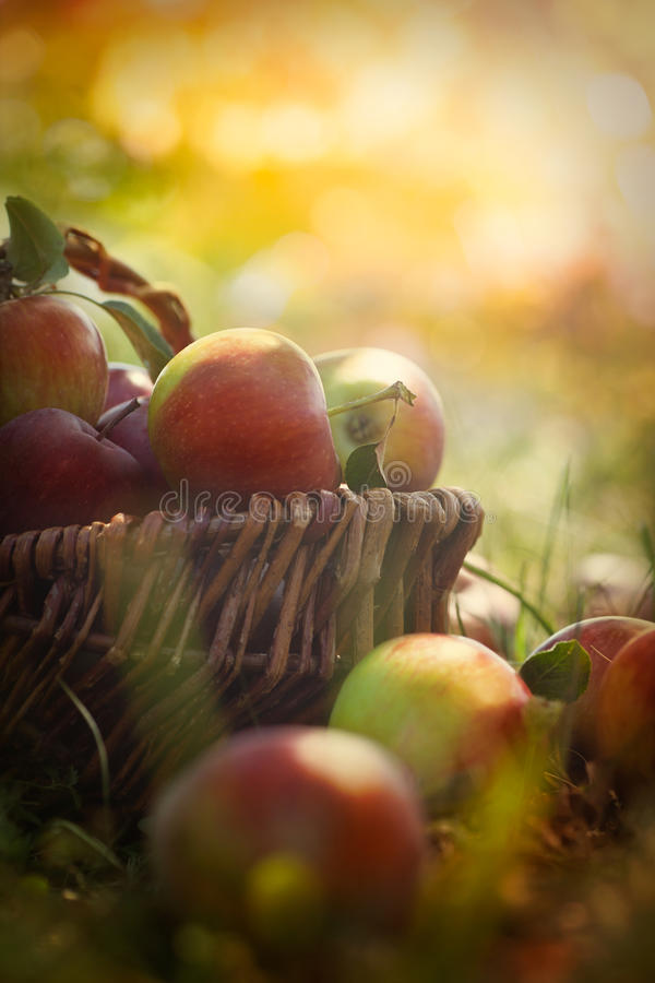 Organic apples in summer grass royalty free stock image