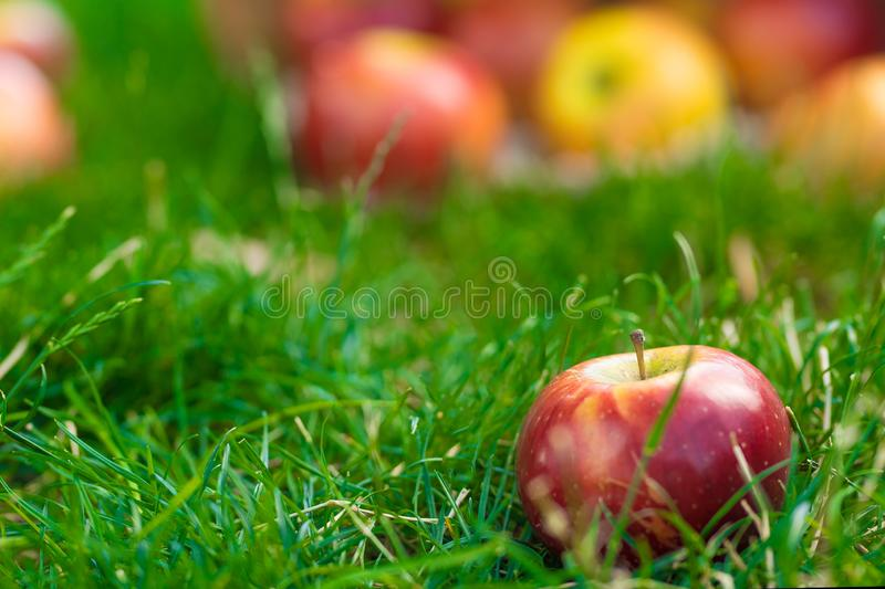 Organic apples in basket in summer grass. Fresh apples in nature.  royalty free stock photography