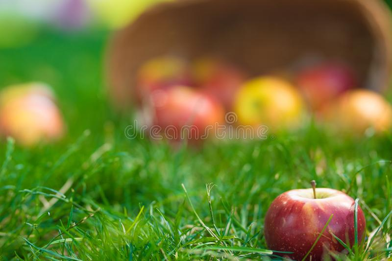 Organic apples in basket in summer grass. Fresh apples in nature.  stock photography